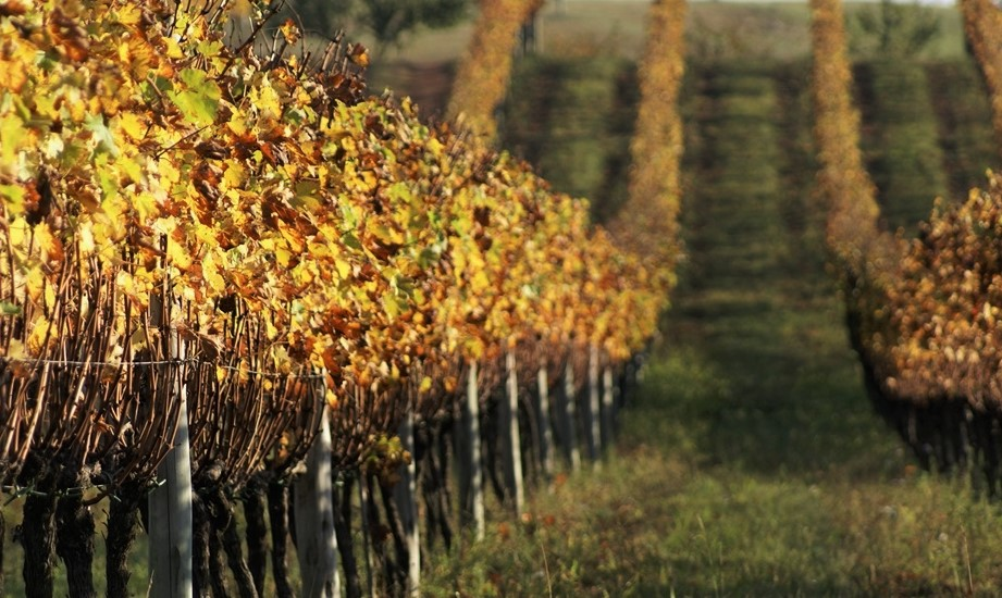 Vinhedos da Lidio Carraro sob a luz dourada do outono (foto: divulgação)