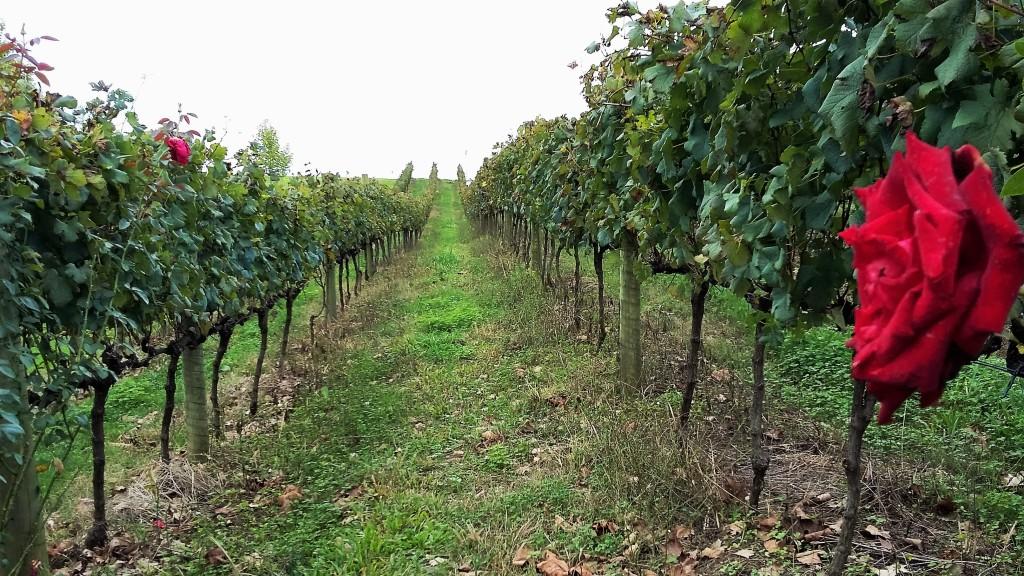 Parreirais a perder de vista: vinhedos da Miolo na Serra Gaúcha