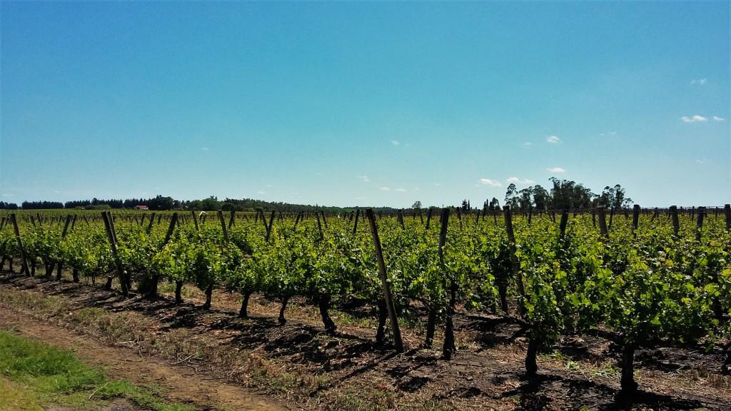 Panorama de parreirais da vinícola Juanicó, uma das maiores do Uruguai. País tem um total de quase 1.600 vinhedos plantados em mais de 7 mil hectares