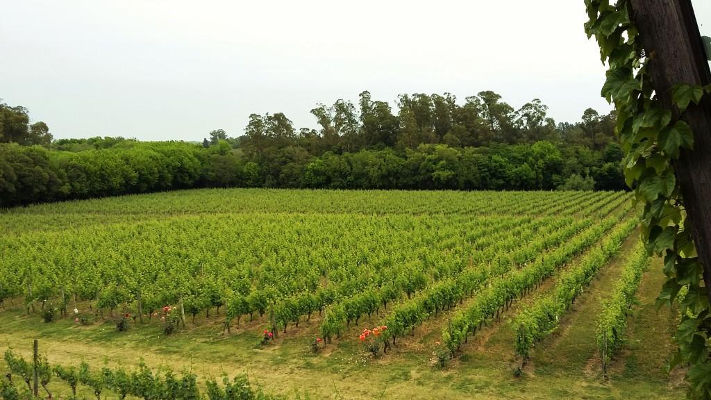 Vinhedos da bodega em La Puebla, onde são plantadas apenas variedades brancas como viognier, chardonnay e gewurztraminer