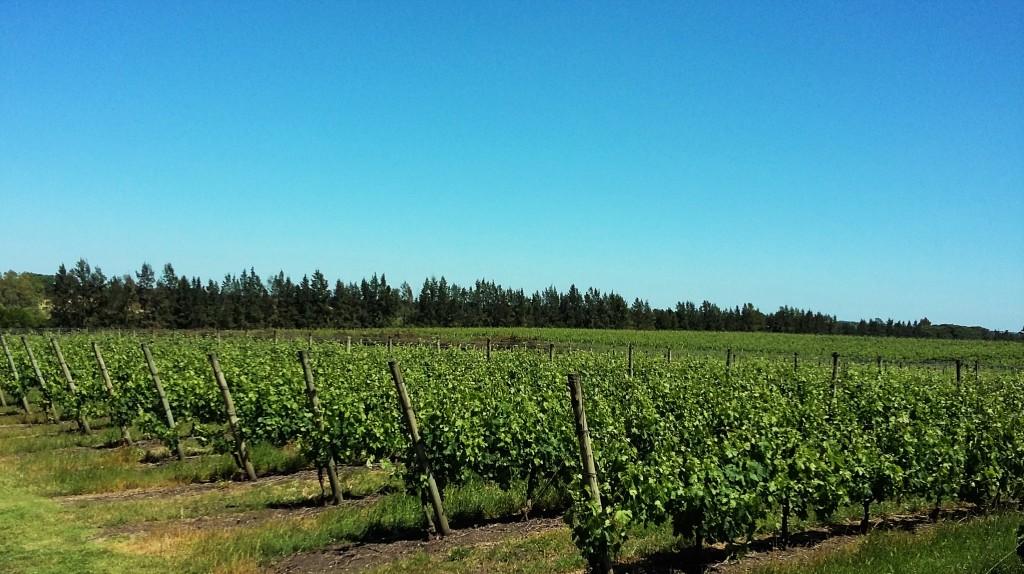 Panorama de plantações de videiras na Juanicó: 30 variedades ocupam mais de 200 hectares de vinhedos próprios