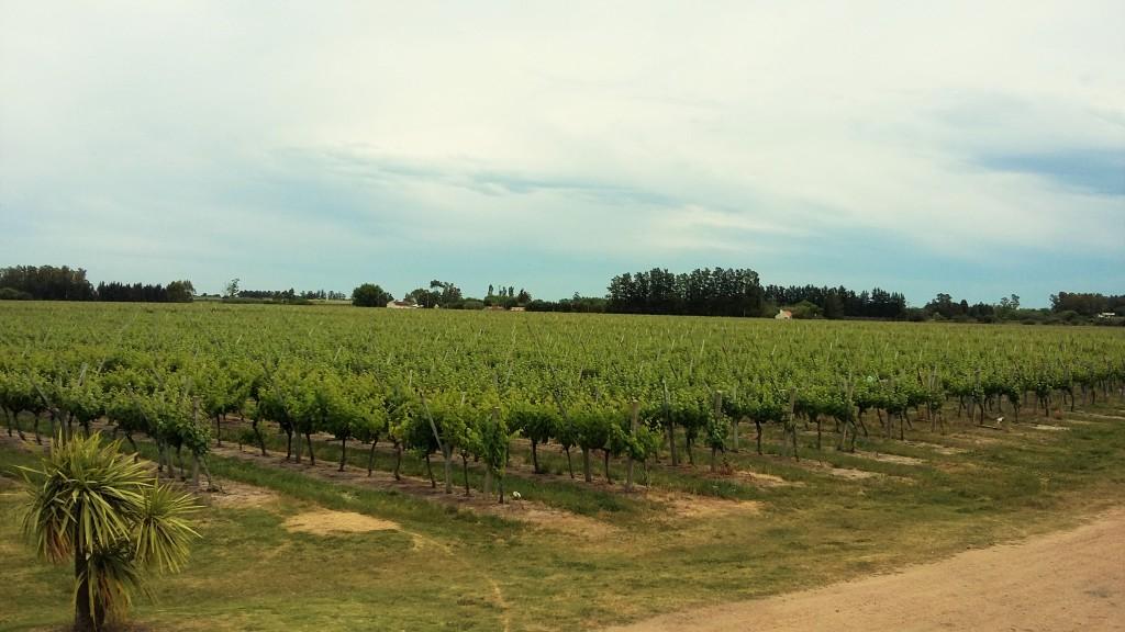 Panorama de vinhedos da Marichal, que cultiva variedades como tannat, merlot, cabernet sauvignon, pinot noir, chardonnay e sauvignon blanc