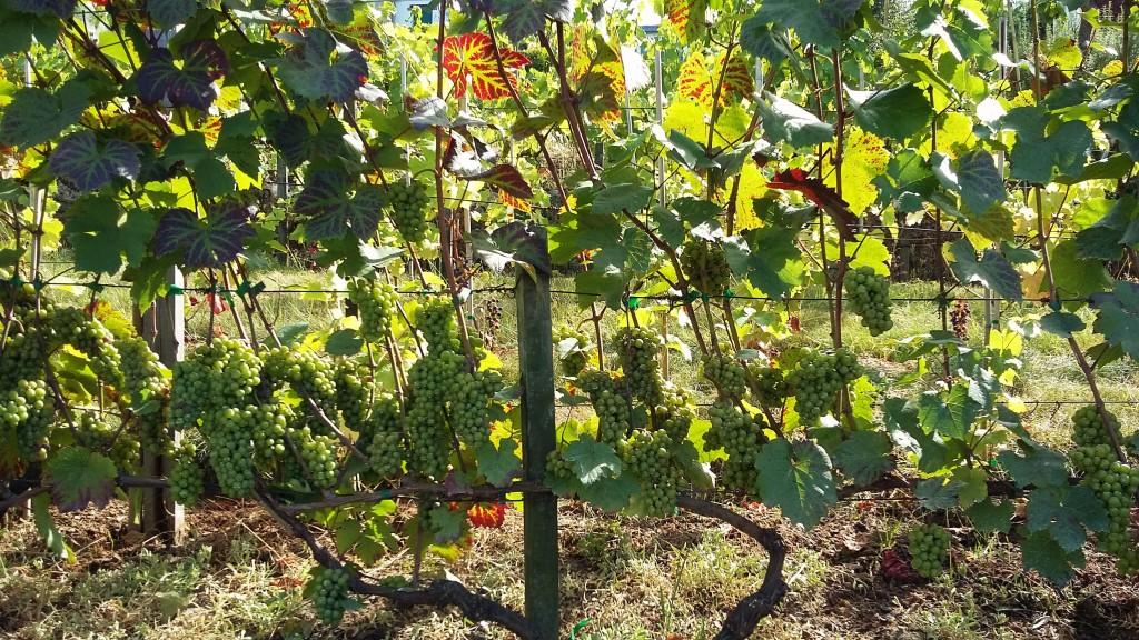 As uvas com as quais são produzidas as cerca de duas mil garrafas