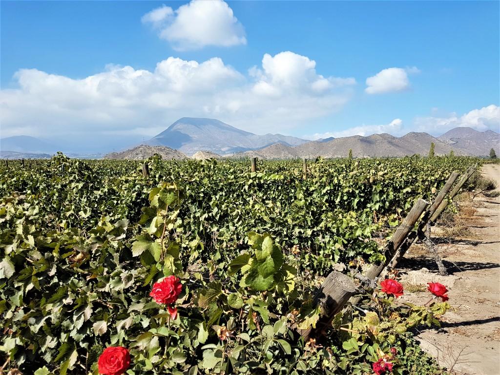 Paisagem exuberante: vinhas plantadas a mais de 800 de alturas na região do Aconcágua, em área considerada 'pré-Cordilheira'