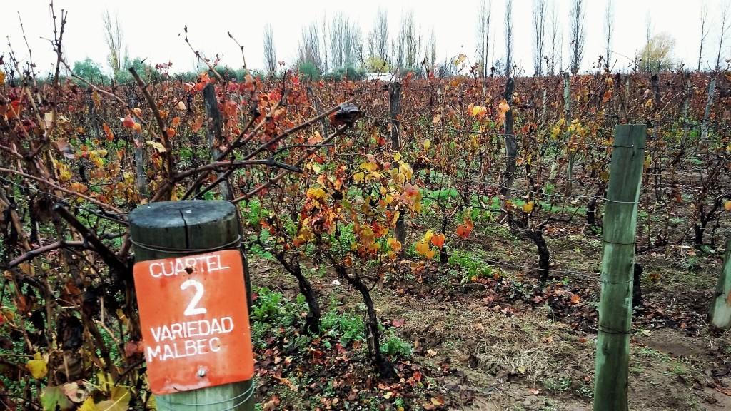 Vinhedo de malbec da vinícola Achaval Ferrer: variedade representa 37% da superfície plantada com uvas tintas